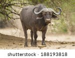 Small photo of African Buffalo bull looking at the camera
