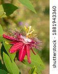 Passion Fruit Flowers Bloom...