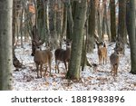 Small Herd White Tailed Deer In ...