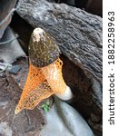 Small photo of Phallus indusiatus, commonly called the bamboo mushrooms, bamboo pith, long net stinkhorn, crinoline stinkhorn or veiled lady, is a fungus in the family Phallaceae, or stinkhorns