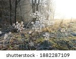 Frosted Wild Plants In The...