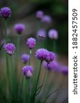 Summer Flowers Of Chive And A...