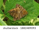 The Burnet Companion Moth  ...