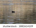 Waterscape Of An American Coot...