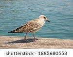Juvenile Yellow Legged Gulls...