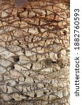 Egypt Palm Tree Trunk Texture