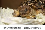 Leopard Tortoise With Patterned ...