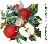 Antique Botanical Apple Fruit...
