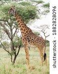 Massai  Giraffe Next To A Tree  ...