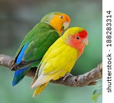 Beautiful Bird  Lovebird ...
