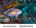 Princess Parrotfish In The...