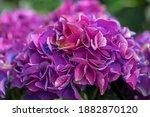 Hydrangea Flowers  Hydrangea...