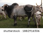 Bulls and cows on a farm in the ...