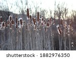Photo Of A Field Of Cattails