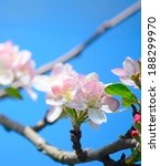 close up of an apple flower... | Shutterstock . vector #188299970