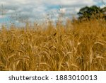 Wheat Field Texture Background...