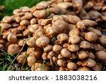 Group Of Brown Mushrooms In The ...