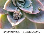 Echeveria Succulent Plant With...