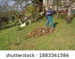 A home gardener rakes autumn...