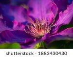 Purple Clematis Flower Macro...