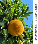 Small photo of Tangerine from Jeju Island, Korea, Watson pomelo