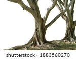 Small photo of Bodhi Tree, a large tree with very long roots cut off from a white background.