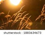 Tall Grass Against Golden Hour...