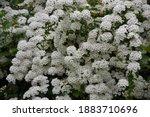 spiraea thunbergii blooming... | Shutterstock . vector #1883710696