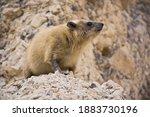 Rock Hyrax  Procavia Capensis ...