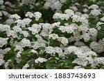 spiraea thunbergii blooming... | Shutterstock . vector #1883743693