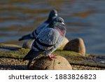 Feral Pigeon  Columba Livia...