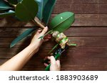 Small photo of One man is pruning an Indian rubber tree. Indian rubber trees obtained by propagating by graft. Rubber plant propagation