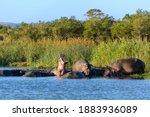 Hippopotamus  Hippo  Common...