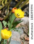 early spring yellow tulip in