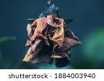 Wilted Flower Petal Of Rose