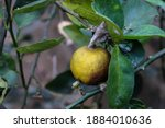 Small photo of Greasy spot is a fungal disease of lemons whose symptoms include telltale yellow-brown blister on the underside of the leaves.