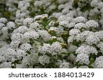 spiraea thunbergii blooming... | Shutterstock . vector #1884013429