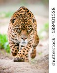 Large Jaguar Male Performing A...