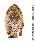 Wild Jaguar Cat Isolated On...
