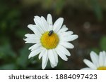 White Daisy Flower With Flies...