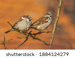 Two Sparrows Sitting On A...