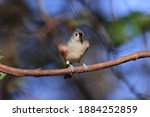 Tufted Titmouse With Ruffled...