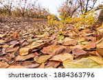 Dry Leaves Of Persimmon Trees...