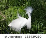 Snowy Egret In Breeding Plumage ...