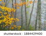 Autumn fog, Sugar Maple, Gauley River National Recreation Area, West Virginia, USA