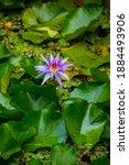Purple Water Lily On Lilypads...