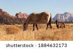 A Buckskin Color Horse Grazes...