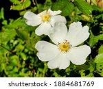 White Dog Rose  Rosa Canina . A ...