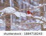 Red Northern Cardinal Bird...