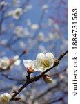 White Flowers Of Japanese...